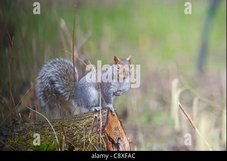 Grey Squirrel Norfolk winter - Stock Photo