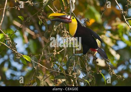 Chestnut-mandibled Toucan Ramphastos swainsonii La Selva Costa Rica - Stock Photo