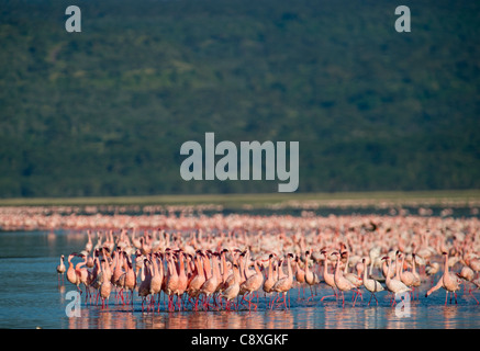 Lesser Flamingos Phoenicopterus minor on Lake Nakuru Kenya - Stock Photo