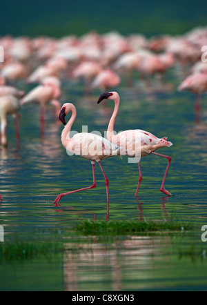 Lesser Flamingos Phoenicopterus minor on Lake Nakuru Kenya - Stock Photo