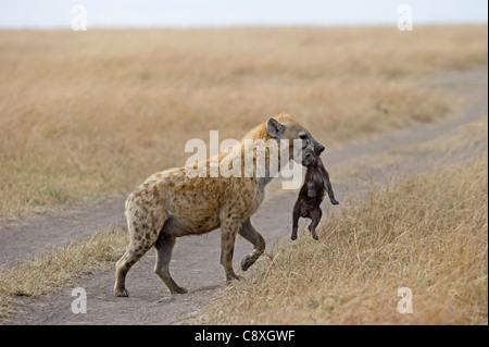 Spotted Hyena Crocuta crocuta with young pup Masai Mara Kenya - Stock Photo