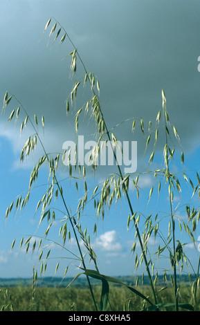 Wild oats (Avena fatua) flower panicles above a crop - Stock Photo