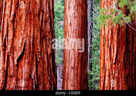 Redwood trees in the Mariposa Grove, Yosemite National Park, California - Stock Photo