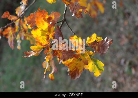 Sun shining through Oak leaves in autumn - Stock Photo