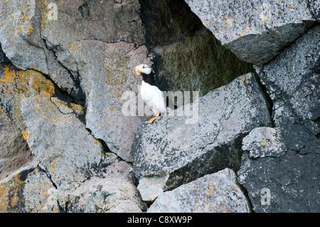 Horned Puffin (Fratercula corniculata) nesting on cliff face, Kenai Fjords National Park, Seward, Alaska - Stock Photo
