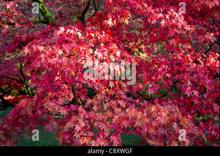 Bright pink maple in autumn - Stock Photo