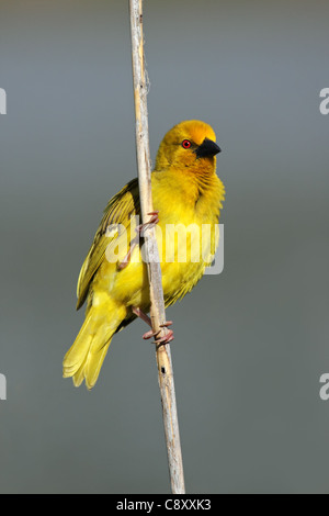 Male yellow weaver bird (Ploceus subaureus) sitting on a reed, South Africa - Stock Photo