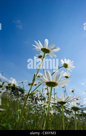 Ox-eye Daisy field North Norfolk summer - Stock Photo