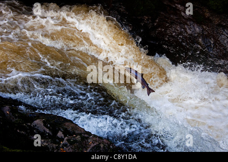 Wild  Salmon leap up the natural salmon leap and waterfall to return to their spawning grounds on the River Almond, - Stock Photo