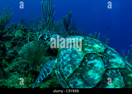 A hawksbill turtle swims on a tropical reef in Central America - Stock Photo
