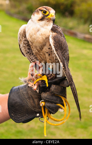 A captive Lanner Falcon ( falco biarmicus ) bird of prey at Stonham Barns in Suffolk , England , Britain , Uk - Stock Photo