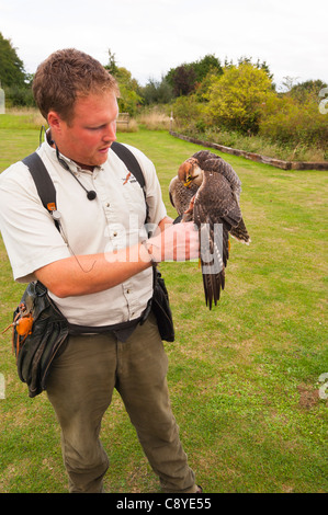 A captive Lanner Falcon ( falco biarmicus ) bird of prey with falconer at Stonham Barns in Suffolk , England , Britain - Stock Photo