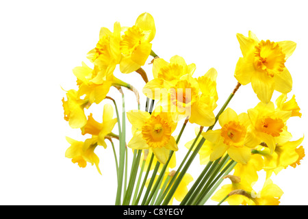 Yellow daffodils isolated over the white background - Stock Photo
