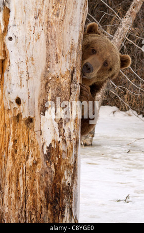 Grizzly Bear, Ursus arctos horribilis hiding behind a tree - Stock Photo