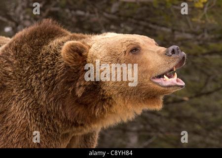 Grizzly Bear, Ursus arctos horribilis smiles for the camera - Stock Photo
