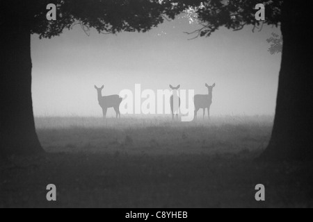Red Deer hinds, Cervus elaphus standing in the early morning mist - Stock Photo