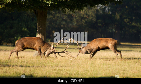 Red Deer stags, Cervus elaphus fighting during the rut - Stock Photo