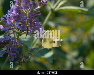 Cabbage White (Pieris rapae) - Stock Photo