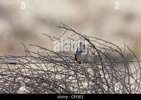 Savannah Sparrow (Passerculus sandwichensis nevadensis), Western subspecies, perched and singing - Stock Photo