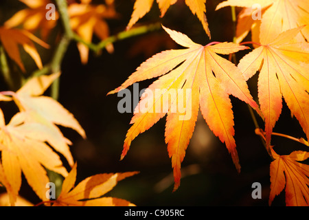Acer palmatum. Sunlight shining on Autumn leaves. - Stock Photo