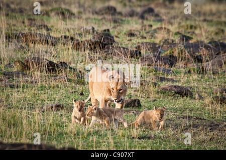 African Lioness with three Cubs, Panthera leo, Masai Mara National Reserve, Kenya, Africa - Stock Photo
