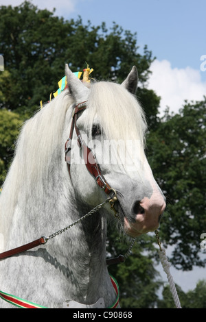 Shire horse stallion Deighton Silver Treasure - Stock Photo