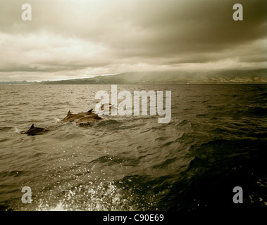 Group of Atlantic spotted dolphins, Whale Watching Tour, near southern shore of Sao Miguel island, Azores, Portugal - Stock Photo