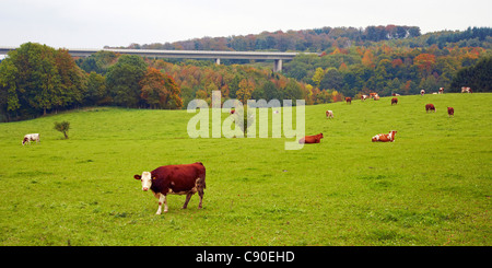 Landscape with Pasture and Cattle near Nettersheim, Eifel, North Rhine-Westphalia, Germany, Europe - Stock Photo