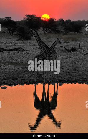 Giraffes at the waterhole at sunset, Okaukuejo, Etosha National Park, Namibia, Africa