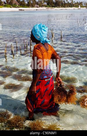 Female worker in seaweed farm, Matemwe, Zanzibar, Tanzania, Africa - Stock Photo