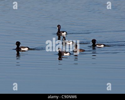 Tufted Duck - Derbyshire, England - Stock Photo