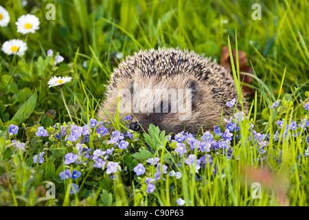 European hedgehog in a meadow in spring, Erinaceus europaeus, Bavaria, Germany, Europe - Stock Photo