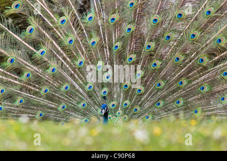 Pavo cristatus, displaying male peacock at a zoo, India, Asia - Stock Photo