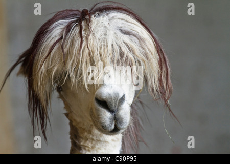 Lama pacos, alpaca with funny hairstyle in a zoo, Andes, South America, America - Stock Photo