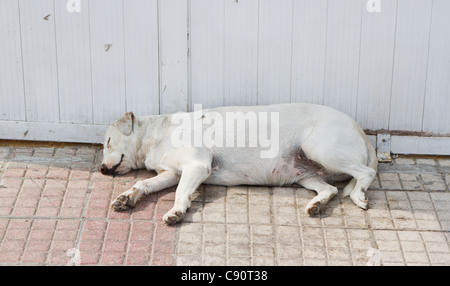 Old and fat white dog sleeping on the street - Stock Photo