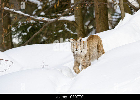 European lynx in the snow, Bavarian Forest National Park, Bavaria, Germany, Europe - Stock Photo