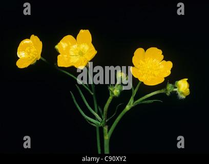 Field buttercup (Ranunculus acris) flower against studio black background - Stock Photo