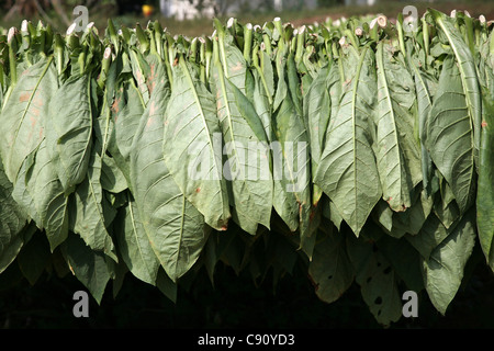 Drying tobacco leaves in the Vinales Valley, Cuba. - Stock Photo