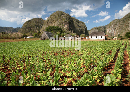 Tobacco plantation with a drying house and the mogotes hill in the background in the Vinales Valley, Cuba. - Stock Photo