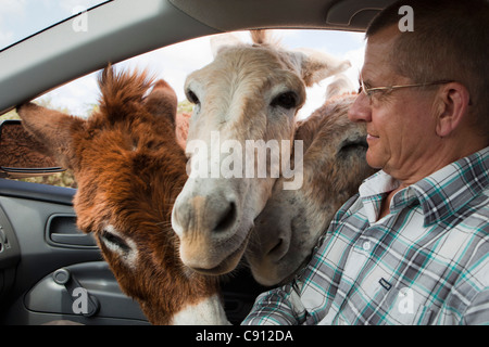 The Netherlands, Bonaire Island, Dutch Caribbean, Kralendijk, Donkey sanctuary. - Stock Photo