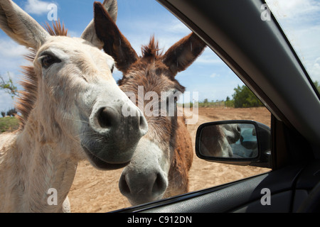 The Netherlands, Bonaire Island, Dutch Caribbean, Kralendijk, Donkey sanctuary. - Stock Photo