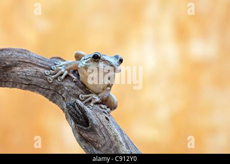 Netherland, Bonaire Island, Dutch Caribbean, Kralendijk, Coqui Antillano, Whistling Tree frog ( Eleutherodactylus - Stock Photo