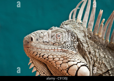 The Netherlands, Bonaire Island, Dutch Caribbean, Kralendijk, Green Iguana ( Iguana iguana ). - Stock Photo