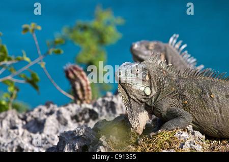 The Netherlands, Bonaire Island, Dutch Caribbean, Kralendijk, Green Iguana ( Iguana iguana ). - Stock Photo