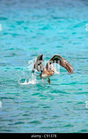 The Netherlands, Bonaire Island, Dutch Caribbean, Kralendijk, Brown Pelican ( Pelecanus occidentalis ). - Stock Photo