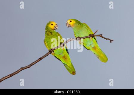 The Netherlands, Bonaire Island, Dutch Caribbean, Kralendijk, Couple of small parrots, parakeets. - Stock Photo