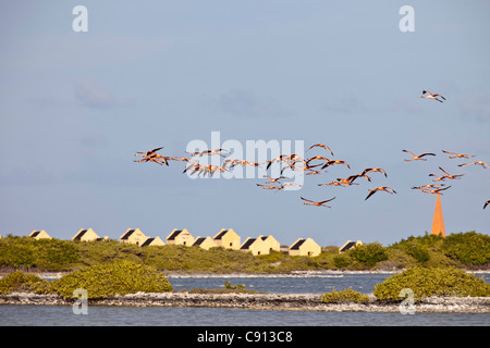 Netherland, Bonaire Island, Dutch Caribbean, Kralendijk, Greater Flamingos (Phoenicopterus ruber) flying in front - Stock Photo