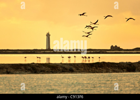 The Netherlands, Bonaire Island, Dutch Caribbean, Kralendijk, American or Caribbe Flamingo ( Phoenicopterus ruber - Stock Photo