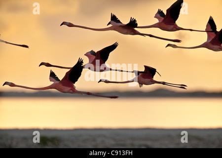 The Netherlands, Bonaire Island, Dutch Caribbean, Kralendijk, American or Caribbean Flamingo ( Phoenicopterus ruber - Stock Photo