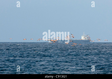 The Netherlands, Bonaire Island, Dutch Caribbean, Kralendijk, American Flamingo ( Phoenicopterus ruber ). Oil tanker. - Stock Photo